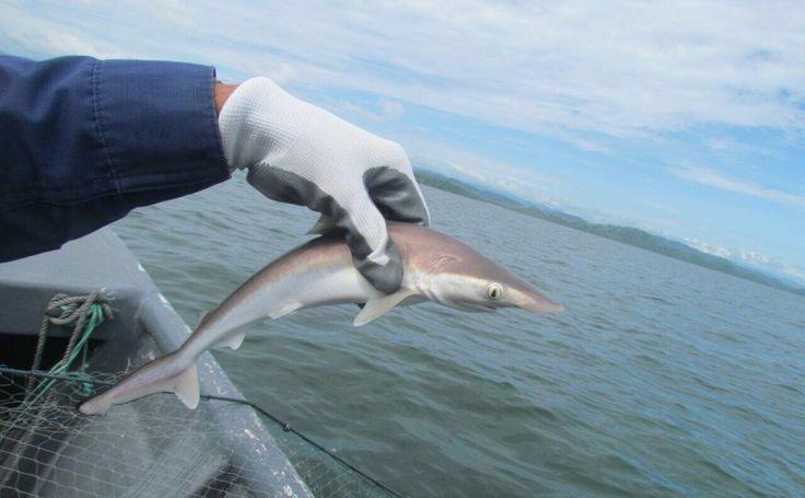 Rescatan 14 tiburones bebé en el Golfo de Nicoya