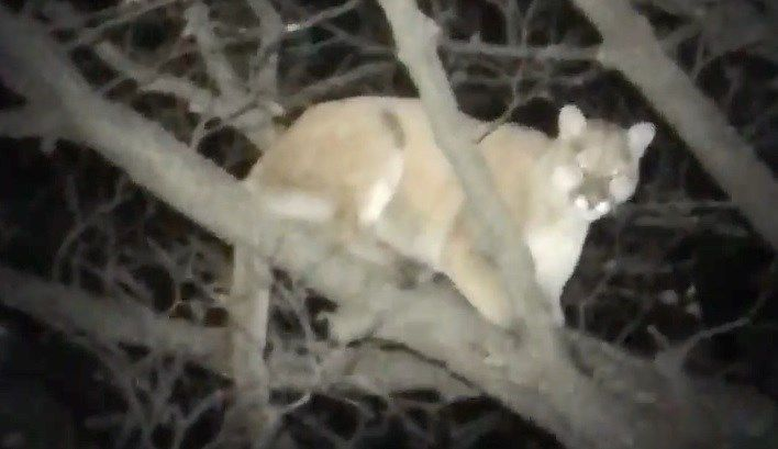 A couple of Kansas teenagers got the thrill of their lives while out hunting: their hunting dog treed a mountain lion. Thanksgiving 2016. http://www.kake.com/story/33856077/video-kansas-hunting-dog-trees-mountain-lion?utm_medium=social&utm_source=facebook_KAKE-TV