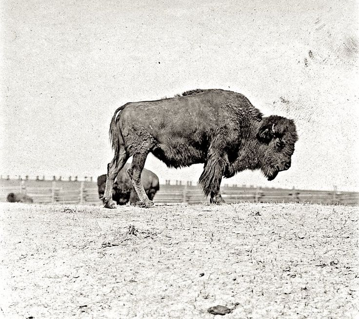 The Great-grandmother of the herd. Montana. ca. 1906-1909.