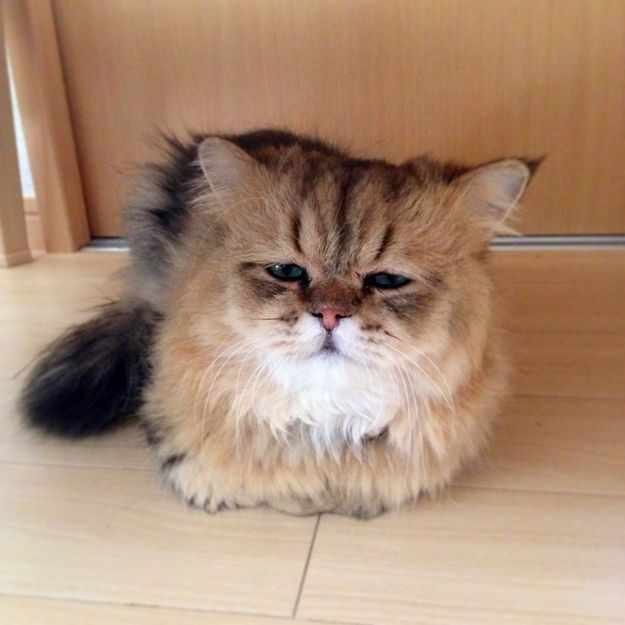 Best Foo Chan Images On Pinterest Babies Cat Memes And Cats - Meet the japanese cat that might just be the grumpiest kitty ever