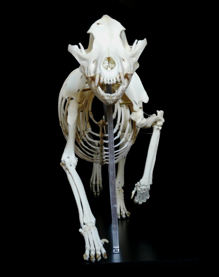 https://flic.kr/p/wbzCzX | Skeleton American Staffordshire Terrier (Canis familiaris) | Squelette de chien American Staffordshire Terrier Skeleton of an American Staffordshire Terrier dog Canis lupus familiaris  Also called Amstaff and usually confused with the APBT (American Pitbull Terrier) witch is a very closely related breed.  fr.wikipedia.org/wiki/American_Staffordshire_Terrier  Classe : Mammalia Ordre : Carnivora Famille : Canidae Genre : Canis