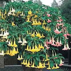 3-in-1 Angel TrumpetAngels Tumpet, Trumpets Plants, Magic Gardens, Plants Gardens, 3 In 1 Angels, Angels Trumpets, Gardens Yards Ideas, Gardens Landscapes Style, 3In1 Angels