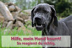 Warum knurrt dein Hund andere Hunde oder Menschen an und ist er deshalb gleich aggressiv? Erfahre hier mehr über Ursachen für Knurren und was du tun kannst.