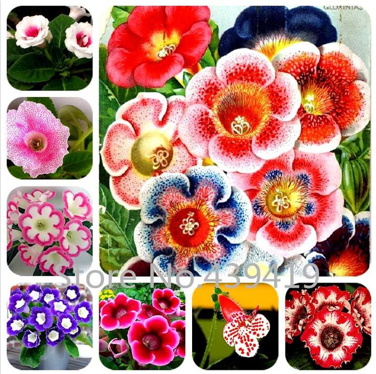 [Visit to Buy] 100 seeds / bag Gloxinia seeds plant flowers Plena sinningia gloxinia bonsai for garden Flower potted planters #Advertisement