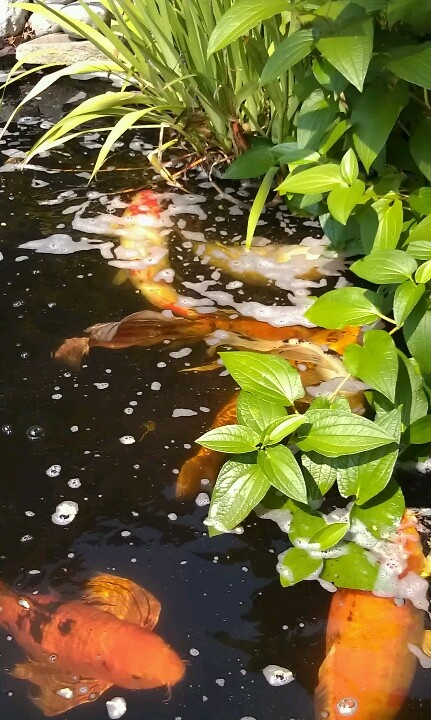 17 best images about koi pond filers on pinterest for Koi pool water gardens cleveleys