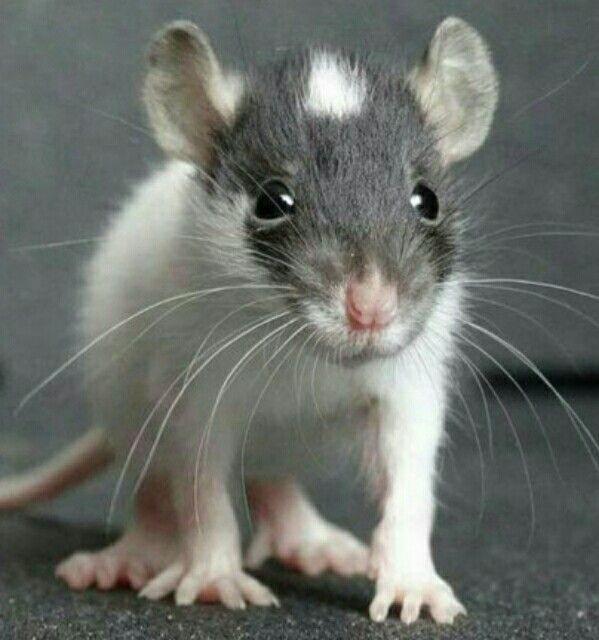 Baby ratty!!! All ears & paws & skinny lil sniffer-squeaky-nose!!!