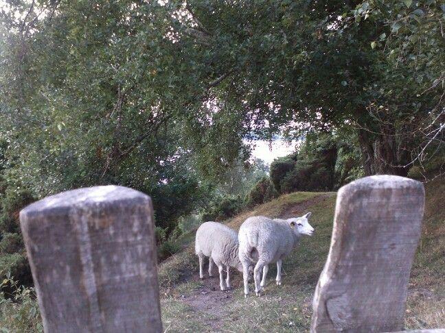 The sheeps of Bramslev Bakker.