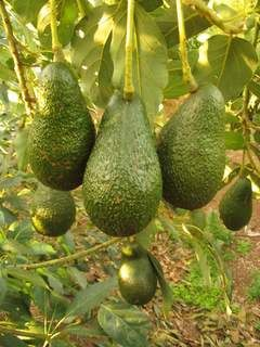 """Avocados provide nearly 20 essential nutrients, including fiber, potassium, Vitamin E, B-vitamins and folic acid. They also act as a """"nutrient booster"""" by enabling the body to absorb more fat-soluble nutrients, such as alpha and beta-carotene and lutein, in foods that are eaten with the fruit."""