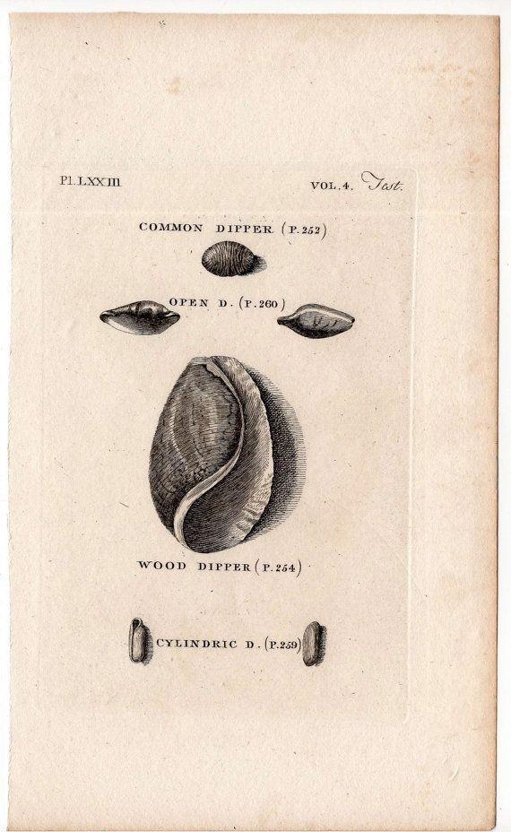 1812 shell print original antique sea shore ocean engraving - dipper shells