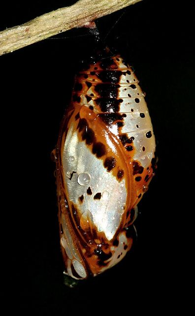 Butterfly Cocoon | Flickr - Photo Sharing!
