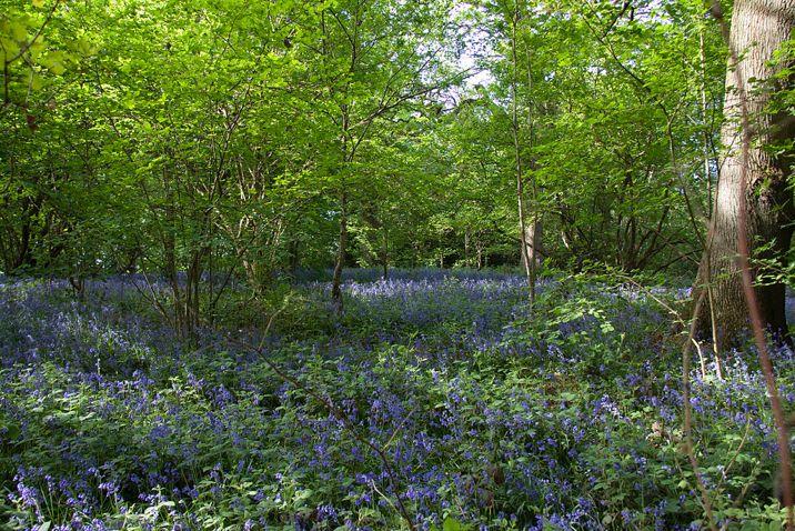 Bluebell Haiku (Day 159) http://poetry.hannahsix.com/2017/06/bluebell-haiku-day-159.html #1462PoemsProject #environment #flowers #haiku #nature, #poemaday #poetry #writing #Resist