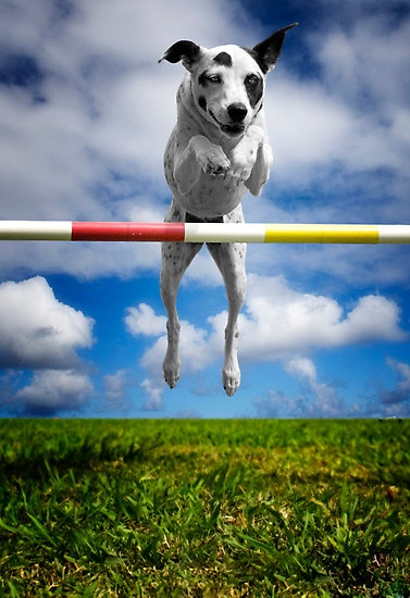 Zelda, RHOA, RHEXAJ: From Rescued Dog To Agility Champion