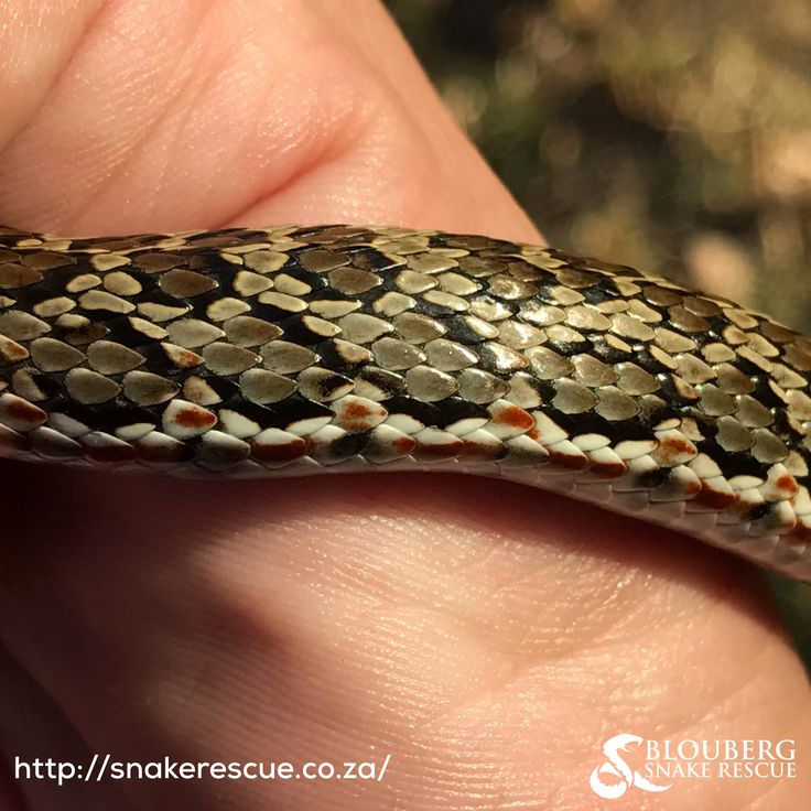 Spotted Skaapsteker (Psammophylax rhombeatus) - mildly venomous, but harmless to humans.