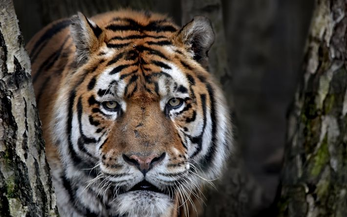 Download wallpapers large tiger, portrait, wildlife, predator, tigers, dangerous beast