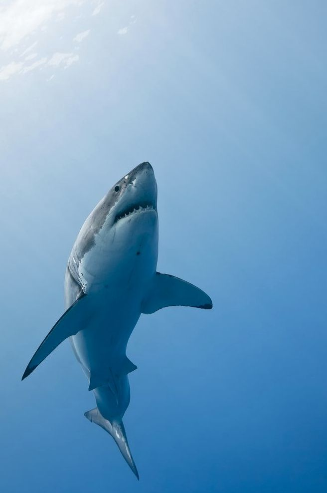 """Did you know Great White Sharks are highly intelligent and inquisitive?   Catch """"Great White Shark"""" in IMAX at the Science Center of Iowa. For more information on show times and tickets, visit http://www.sciowa.org/imax/schedule/"""