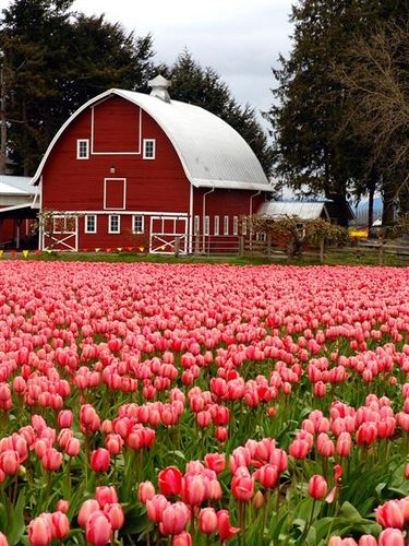 Barn in the tulips: Farm, Beautiful Barns, Country Living, Tulips, Country Life, Flowers, Red Barns