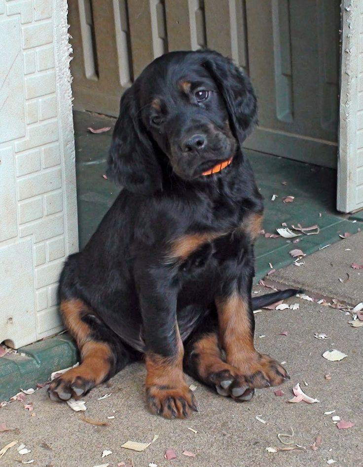 Gordon Setter Puppy - An Amazing Breed