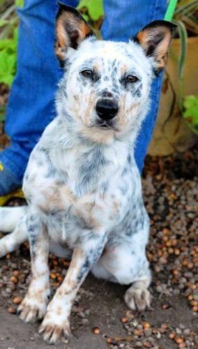20 Best Dogs Texas Heeler Aussie And Heeler Mix Images