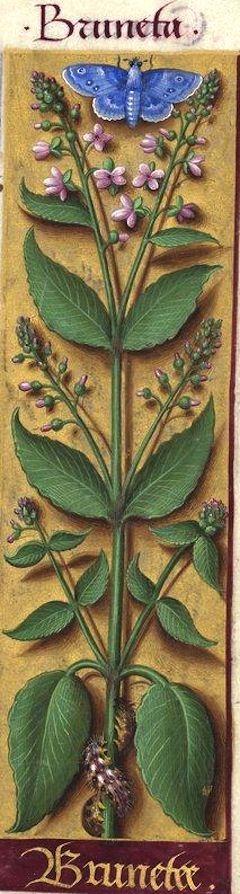 Brunetee - Bruneta (Circæa lutetiana L. = herbe aux sorcières) -- Grandes Heures d'Anne de Bretagne, BNF, Ms Latin 9474, 1503-1508, f°104r