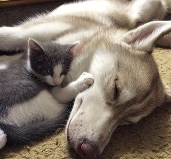 Rosie the kitten sleeping with Lilo the husky                                                                                                                                                     More