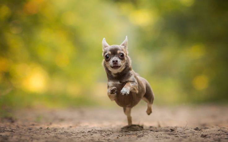 Happy Chihuahua  Share with others if You like it ❤ #chihuahua #chihuahuas #chihuahualove #chihuahuaworld #chihuahuaaddict #chihuahualife #dogs #cute