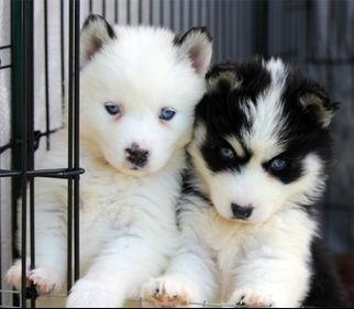 Alaskan Klee Kais Pomskys and Miniature Huskies! - Pomskys I want these puppies!!!!