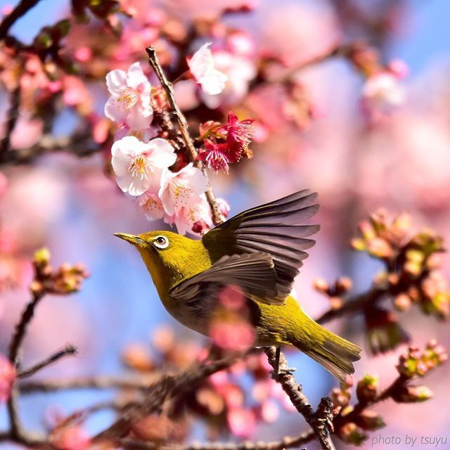 【tsuyu1010】さんのInstagramをピンしています。 《*サクジロー* またまたサクジローですが何か?笑 もういい加減しろですよね…。僕…諦めが悪いタイプですので笑  #和歌山#メジロ#サクジロー#桜#ソメイヨシノ#青空#カメラを楽しんでる人と繋がりたい#写真好きな人と繋がりたい#kf_gallery#wakayamagram#airy_pics#tokyocameraclub#lovers_nippon#wp_japan#team_jp_#picture_to_keep#japan_daytime_view#bestjapanpics#ptk_japan#photo_jpn#ig_japan#special_shots#pics_jp#whim_life#japan_of_insta#phos_japan#ig_camera_club#tv_colorsplash#tv_travel#daily_photo_japan》