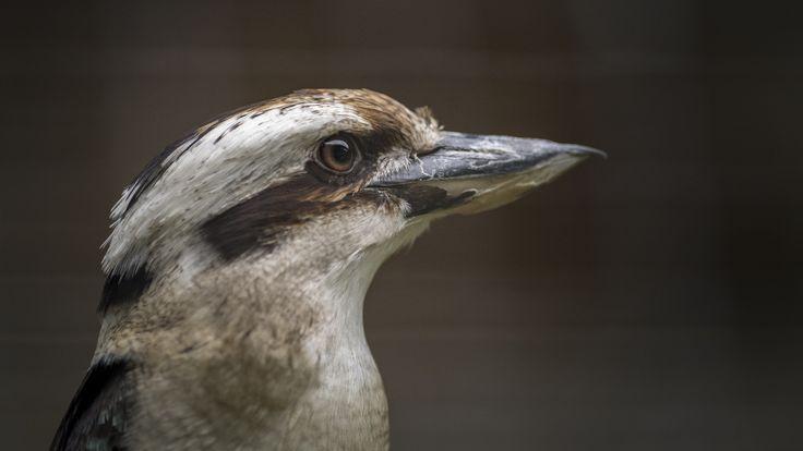 https://flic.kr/p/GHFUdh | Lachender Hans / Jägerliest  / Kookaburra - Eisvogel | VOGELPARK STEINEN  Jägerlieste sind die größten Vertreter in der Familie der Eisvögel und die bekanntesten in der Gattung der Jägerlieste (Dacelo). Das Hauptverbreitungsgebiet liegt im Osten und Südosten von Australien. Im Norden und im Nordwesten von Australien kommen die nahe verwandten Haubenlieste (Dacelo leachii) vor und besetzen ähnliche Habitate wie die Jägerlieste. In Westaustralien, Tasmanien und…