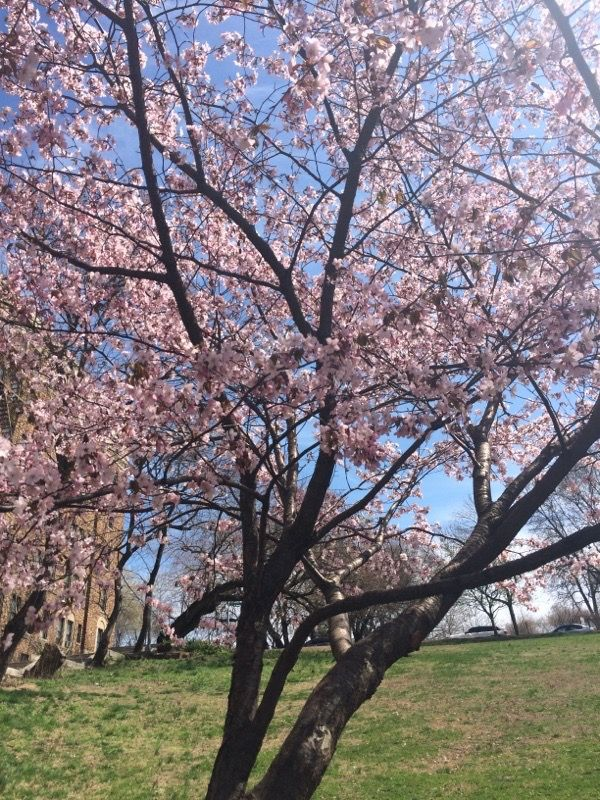 Ornamental Cherry Prunus Spp Ornamental Cherry Trees Provide Showy Spring Flower Displays You Grow Orna Ornamental Cherry Organic Fertilizer Flower Display