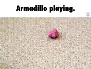#armadillo, #playing