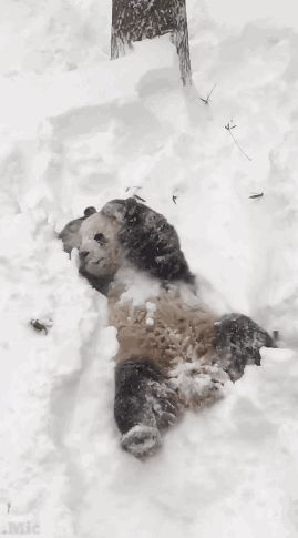 "micdotcom: "" Tian Tian, a giant panda who lives in Washington, D.C.'s National Zoo, is quite clearly having the most fun snow day ever. His son, Bei Bei, however was not all about it. """