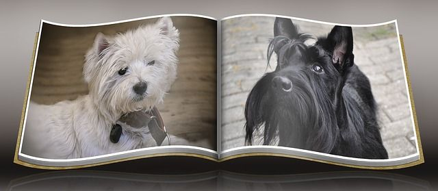 Scottie or Westie – This Mistake is Perfectly Understandable