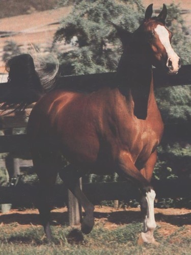 Keepsake V (Huckleberry Bey x Khemadera) A 1983 Arabian mare who was U.S. National Champion mare along with producing two Dams of Distinction and her dam line goes to the legendary Crabbet mare Queen Of Sheba.: Arabian Hors, Mare Queen