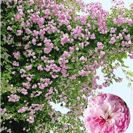 Rosen durch Stecklinge vermehren - Mein schöner Garten