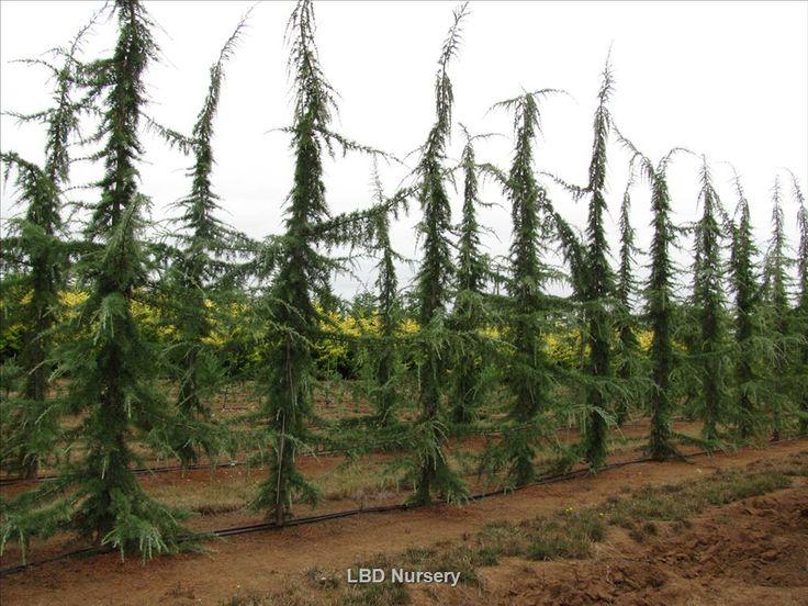Cedrus deodara 'Karl Fuchs' | Wholesale Nursery Supplies & Plant growers in Oregon | Nursery Guide