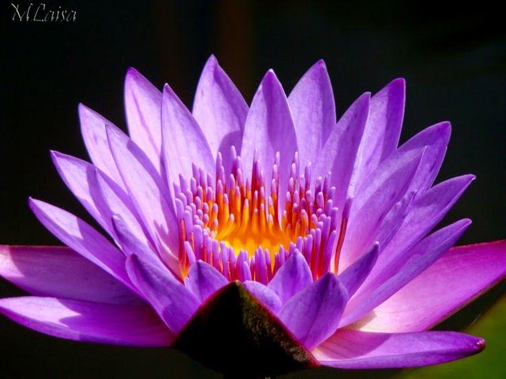 Thoughts of an Otaku: Significado das cores das flores de Lótus