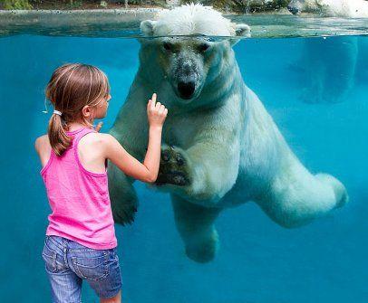 Zoo de la Flèche - Ours polaire. Près de 1500 animaux, 120 espèces des 5 continents #Zoo
