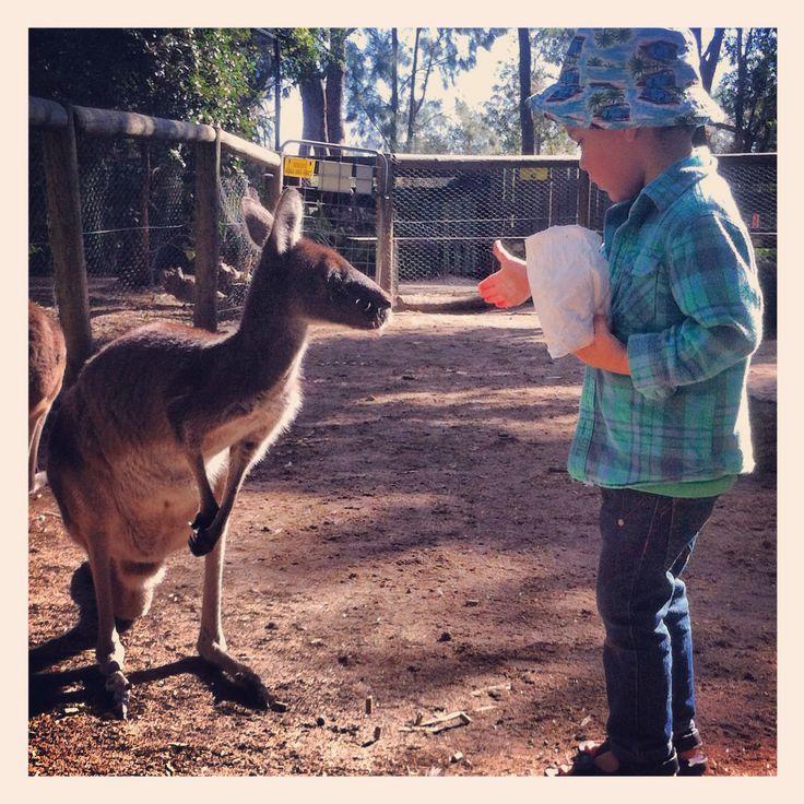 Peel zoo kangaroo