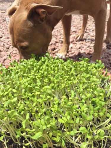 Dr. Karen Becker says: If your pet likes to eat grass, grow your own sunflower sprouts to offer instead. Sprouts can provide a very easy and inexpensive source of fresh, live organic vegetation for your dog or cat to nibble on.