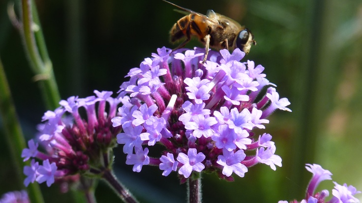 A bee enjoys the almost luminous lavender flower of verbena bonariensis