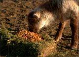 A sheep eating