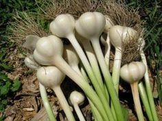 Como plantar alhos em vaso - 7 passos - umComo