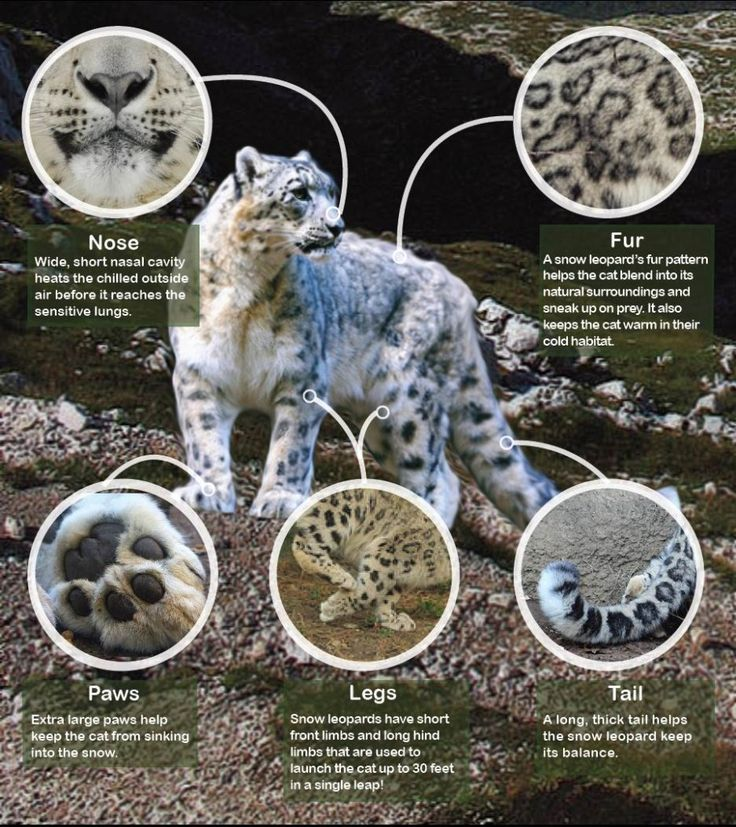 11 best images about snow leopard on pinterest