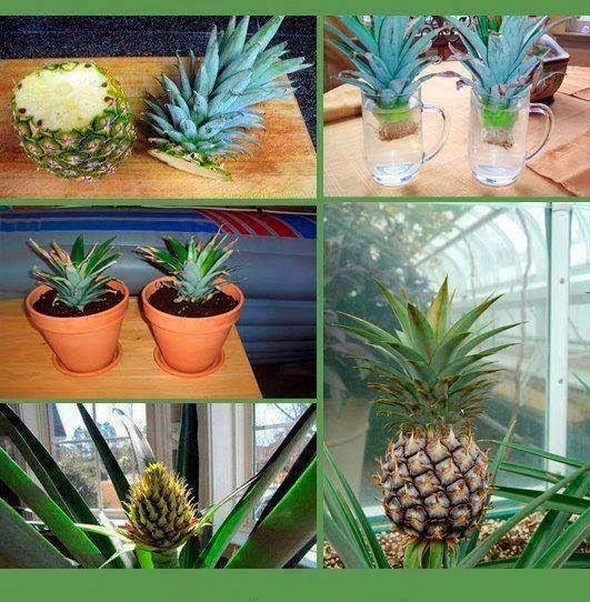 Como plantar una piña