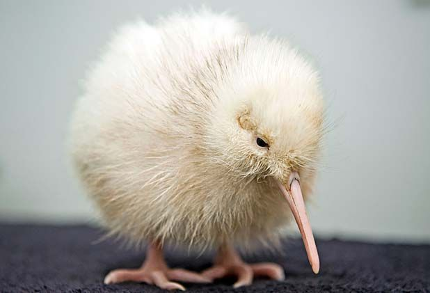 Another white kiwi chick has hatched at Pukaha Mt Bruce this week - how precious!  http://www.stuff.co.nz/national/8009827/Third-white-kiwi-for-Pukaha-Mount-Bruce