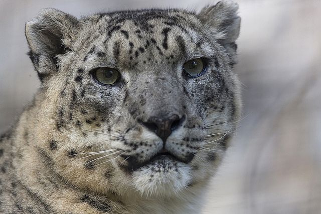 Snow leopards have serious hops. They can pounce on prey up to 45 ft. away.