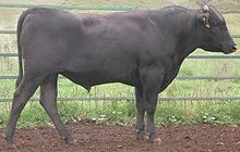 Wagyu cattle (Japanese-meat & draught) Wikipedia, the free encyclopedia