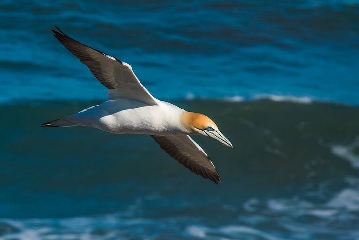 Gannet at Muriwai. Neil Arnold.