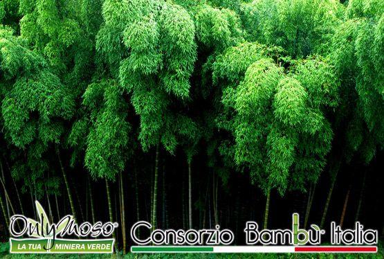 Foresta di Bambù gigante Onlymoso - Una vera Miniera Verde!