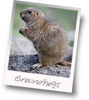 Baiting a live trap for groundhogs